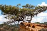 A Torrey Pine