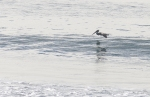 Soaring Pelican On The Ocean