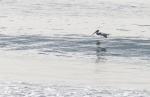 Soaring Pelican On The Ocean