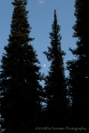 Moonlit trees