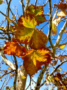 Fall leaves in the Getty garden
